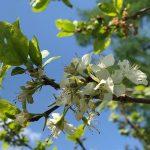 春のプルーン畑にて