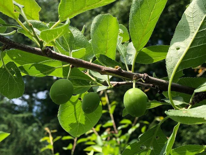 プルーン摘果にみる熟成までの道程