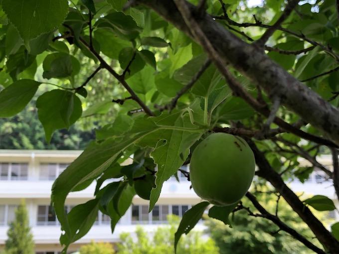 梅の実を収穫する時期になりました。