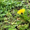 梅雨空の下で咲くタンポポ