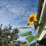 向日葵といわし雲
