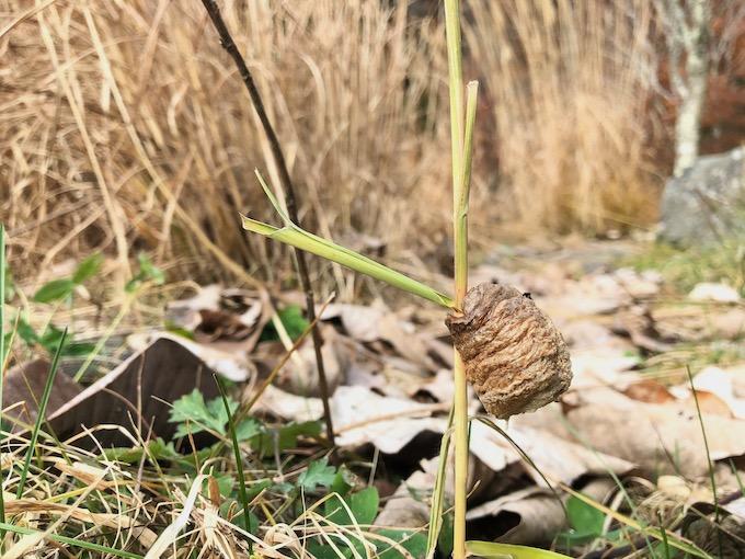 厳冬を迎えるカマキリの卵