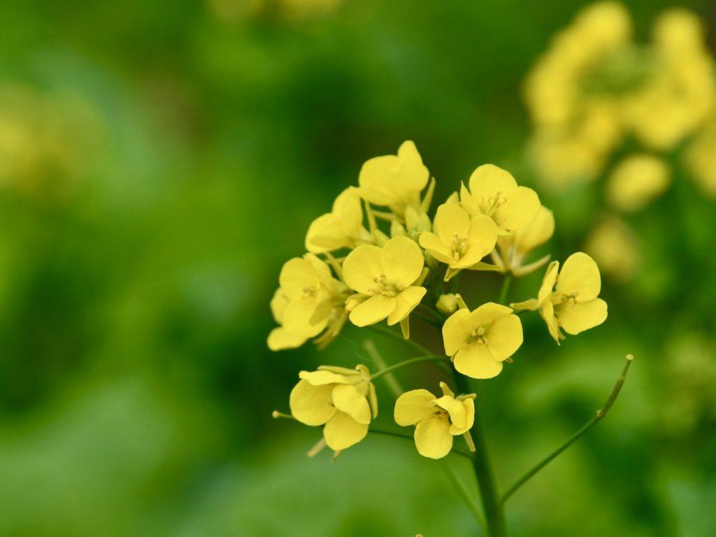 二宮の菜の花