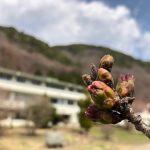 そろそろ桜の季節かな