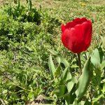 チューリップも咲いているよ!