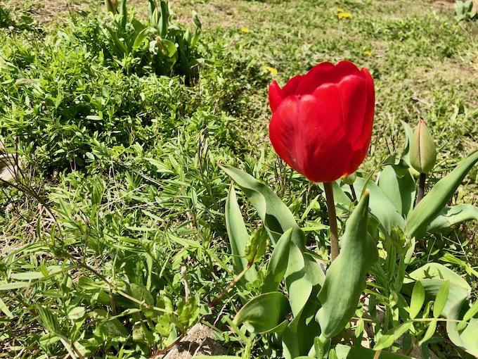 チューリップも咲いているよ