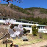 どんどん開く桜の花と今後の歩み
