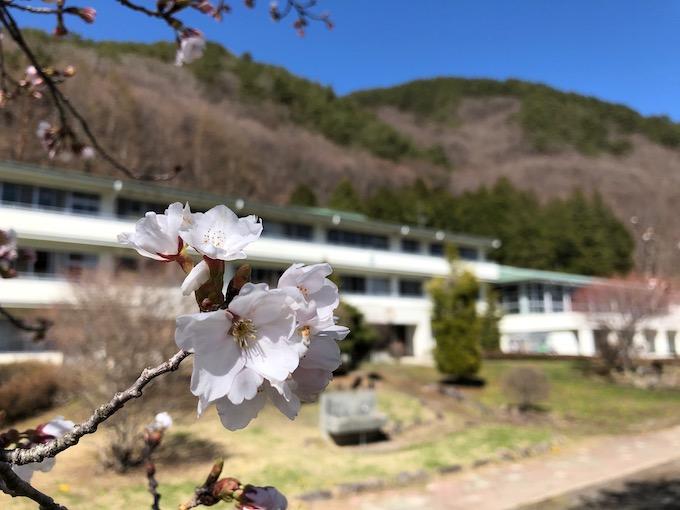 どんどん開く桜の花と今後