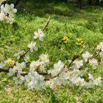 プルーンの花が満開の大日向より