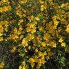 一気に広がるヤマブキの花たち