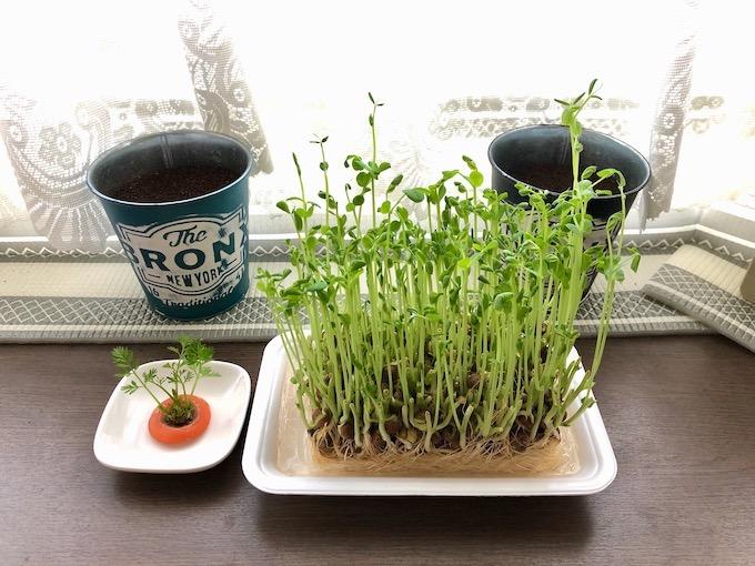 豆苗の水耕栽培を楽しむ