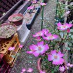 「安曇野」平和を願わないではいられない花
