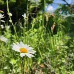 この白い花はマーガレットなのか問題