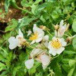園庭に咲くノイバラと田植え