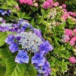 紫陽花の季節に考える変革期