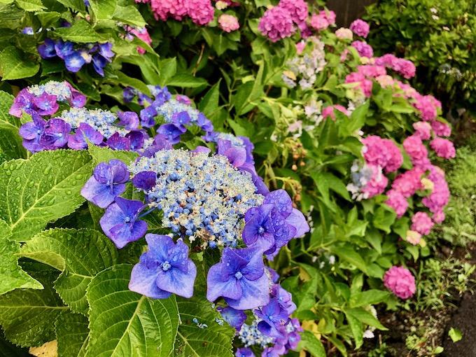 紫陽花の季節と変化の兆し
