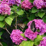 紫陽花にアゲハチョウ?