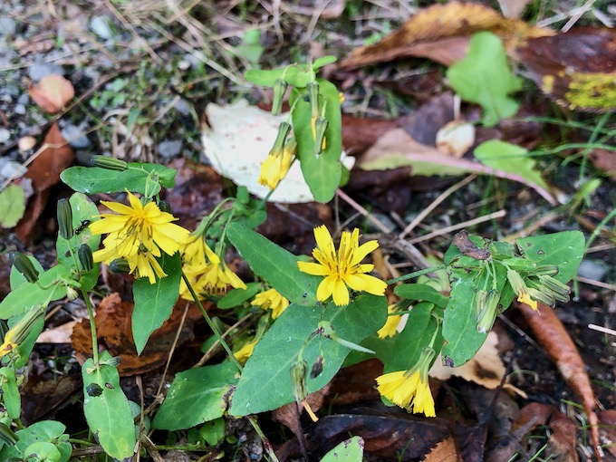 校庭の傍らに咲く薬師草