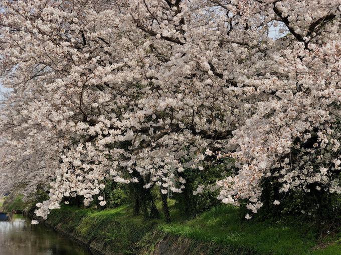 大根川の桜
