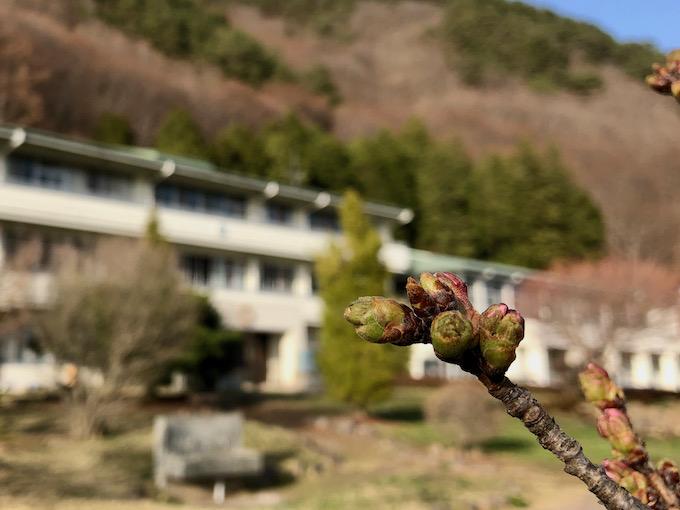 桜の蕾が膨らんで3月が終わる