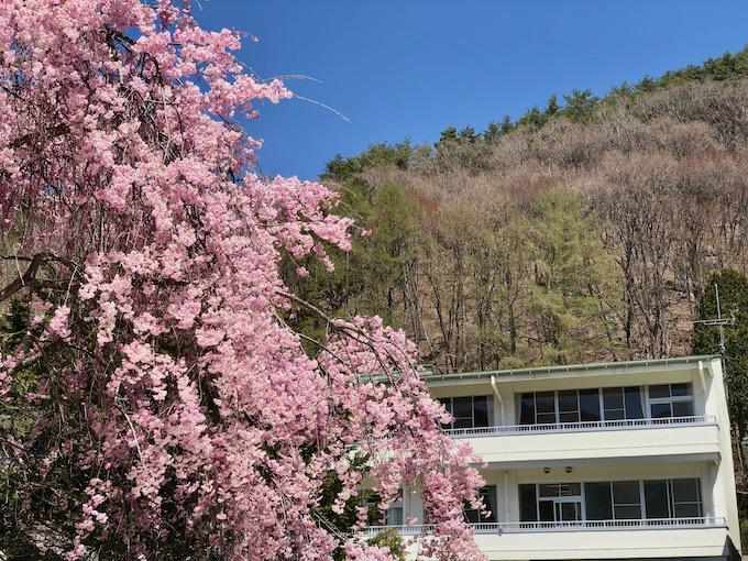 今度はしだれ桜が満開になった