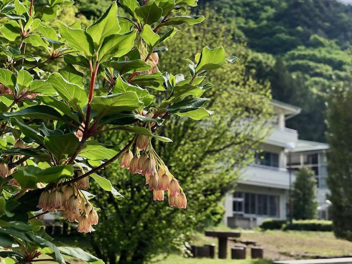 サラサドウダンが咲く大日向小学校